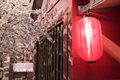Red japanese lanterns with sakura tree