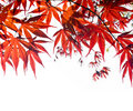 Red Japanese Maple leaf background on white. Royalty Free Stock Photo
