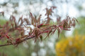 red japanese maple tree branch at spring Royalty Free Stock Photo