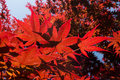 Red japanese maple tree closeup of Stock Images