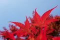 Red japanese maple tree closeup of Stock Photography