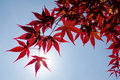 Red japanese maple tree closeup of with sun poking through Royalty Free Stock Image