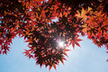 Red japanese maple tree closeup of with sun poking through Royalty Free Stock Photography