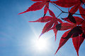 Red japanese maple tree closeup of with sun poking through Royalty Free Stock Images