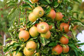 Red jonagold apples on apple tree branch. Royalty Free Stock Photo