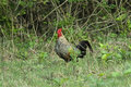 Red Jungle-fowl Royalty Free Stock Photo