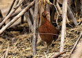 Red Jungle Fowl Of Nature