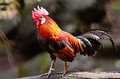 Red junglefowl oudstanding male gallus gallus standing on the log Stock Photo