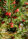 Red juniper berries on twig Royalty Free Stock Photo