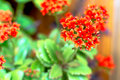Red kalanchoe home flower in a flower pot Stock Photography