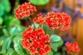 Red kalanchoe home flower in a flower pot Royalty Free Stock Photos