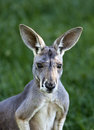 Red Kangaroo Stock Photo