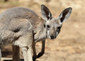 Red Kangaroo Baby Royalty Free Stock Photo