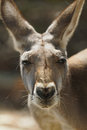 Red Kangaroo Closeup Royalty Free Stock Image