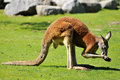 Red kangaroo on grass Royalty Free Stock Images