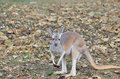 Red kangaroo among the leaves a female sits in some Royalty Free Stock Images