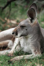 Red kangaroo the macropus rufus is australia s largest males are a reddish brown color and females more blue grey Stock Photography