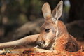 Red kangaroo at rest close up of a resting noon in the warm sun Royalty Free Stock Image