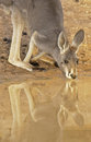 Red kangaroo in sturt national park nsw australia Stock Photos