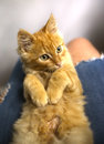 Red ketten on human lap Royalty Free Stock Photo