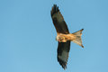 Red kite feeding on the wing while flying against a blue sky Royalty Free Stock Photos
