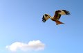 Red Kite in flight Royalty Free Stock Photo