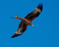 Red kite milvus milvus prey bird in the air Royalty Free Stock Images