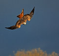 Red kite stoop juvenile stooping for food Stock Image