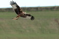 Red kite view of a in flight against a rural background Stock Photo