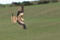 Red kite view of a in flight against a rural background Royalty Free Stock Image