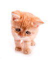 Red kitten is looking down Stock Images