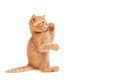 Red kitten standing playing with leg on his mouth isolated on white Royalty Free Stock Photos