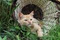 Red kitten in a wicker basket Royalty Free Stock Photo