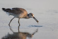 Red knot foraging san carlos bay bunche beach preserve florid calidris canutus florida Stock Photography