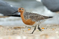Red Knot Royalty Free Stock Photo