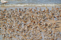 Red Knots Royalty Free Stock Photo