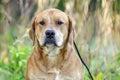 Red Labrador Mastiff mixed breed dog Royalty Free Stock Photo
