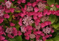 Red Lacecap Hydrangea Macrophylla flower bed Royalty Free Stock Photo