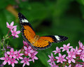 Red Lacewing Royalty Free Stock Images
