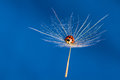 Red lady bug sit on a wet floating dandoline dandelion in bright blue sky Stock Photography