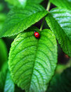 Red ladybird on a leaf Stock Photography