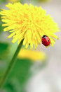 Red ladybird on yellow flower Royalty Free Stock Photo
