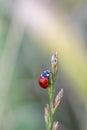Red ladybug macro on green leaf background Royalty Free Stock Photo