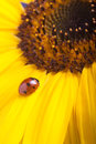 Red ladybug on sunflower flower, ladybird creeps on stem of plan Royalty Free Stock Photo
