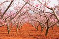 Red land with blooming Peach cherry trees, pink flower in full b