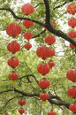 Red lanterns hanging on the tree Royalty Free Stock Image
