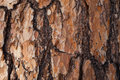 Red Larch Bark Background