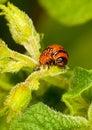 Red larva Colorado beetle eats leaves. Stock Photos