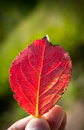 Red leaf Stock Image