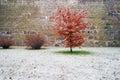 Red leaf alder tree against fresh snow Royalty Free Stock Photo